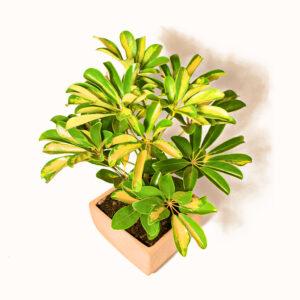 Aralia variegata