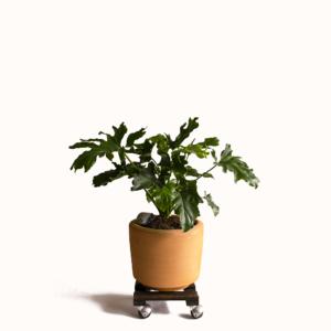 Planta Garra de León