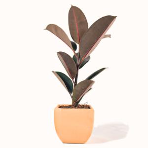 Planta ficus hule