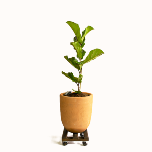 Planta Lyrata kit completo