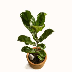 Lyrata Planta desarrollada