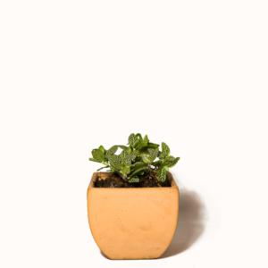 Fitonia Planta