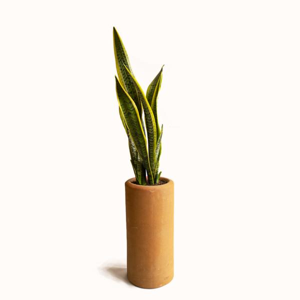 Sanseveria planta