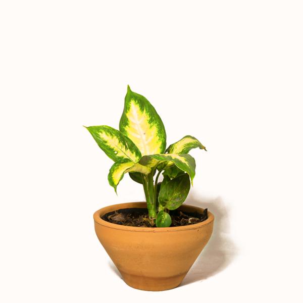 Planta Mariana Joven
